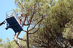 Abbattuti dieci pini su via Aristide Carpaccio nel parco di Tormarancio